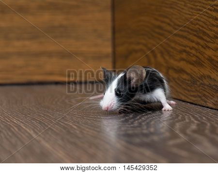 The mouse sits in the empty closet. Rodent lived in the house