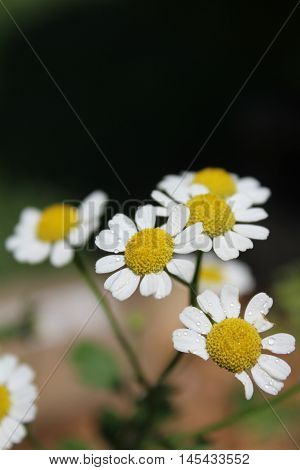Feverfew sprinkled with water droplets and displayed in front of a black background