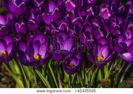 Spring Flower Crocus Meadow Floral Vibrant Impression