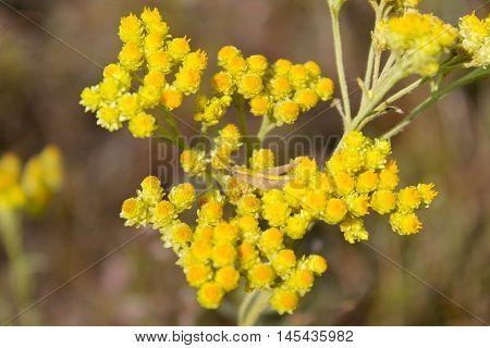 Yellow flower (Helichrysum arenarium) on the meadow