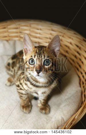 Small bengal kitten in wooden a basket