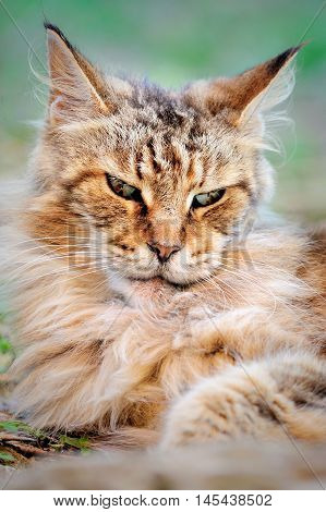 evil scowl look old male Maine Coon