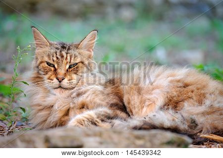 old cat male Maine Coon look scowl is resting