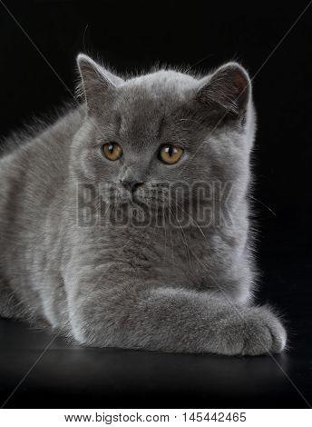 Pretty British Shorthair Blue Kitten On Black Background.