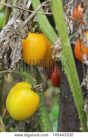 Yellow tomato growing in the vegetable garden