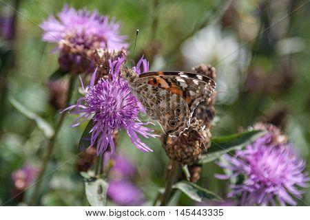 Close up of a butterfly on a purple flower. Karpaty, Ukraine.