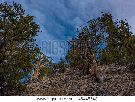 Ancient Bristle Cone Pinte Great Basin