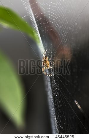 the spider on the wet web of water droplets