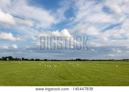 Typical tranquil Dutch polder scene with sheep
