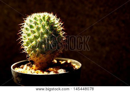 The small cactus less in hard light style vintage