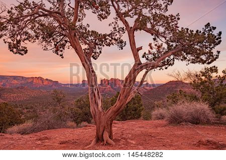 a juniper tree frames a beautiful sedona arizona sunset