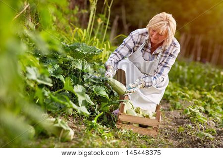 Old woman in garden looking at organic produced zucchini