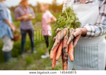 Close up of old hands holding picked carrots