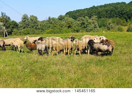 Flock of sheep grazing on green meadow