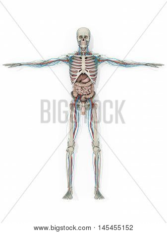 Human anatomy skeleton,vascular system, digestive system medical illustration on white background. 3d illustration.