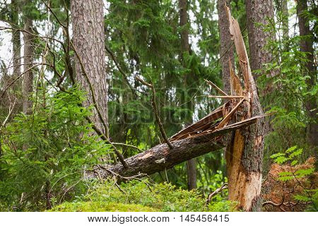Broken spruce tree in the forest, natural photo