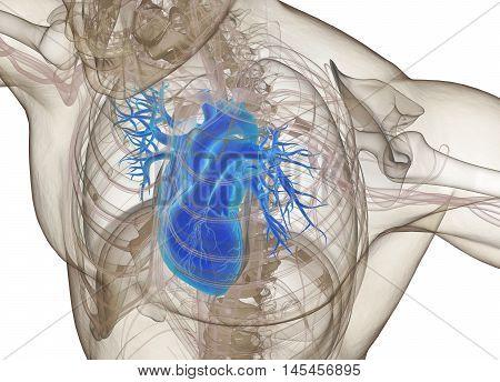Human heart inside ribcage, xray. 3d illustration.