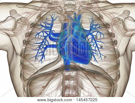 Human heart in rib cage, xray. 3d illustration.
