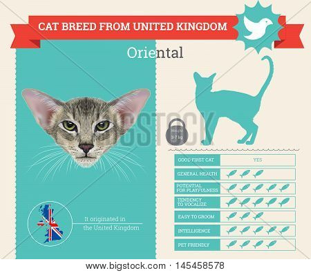 Oriental cat breed vector infographics. This cat breed from United Kingdom