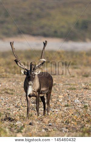 a nice barren ground caribou bull in velvet