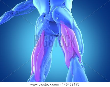 Hamstring muscle group, human anatomy muscle system. 3d illustration.