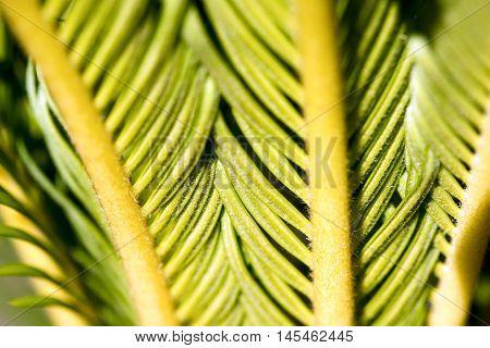Macro photography of green leaves of cycas revoluta