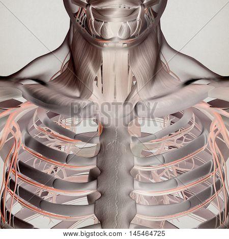 Human anatomy. Torso, rib cage, muscle and vascular system. Futuristic scan, thermal xray-like. 3d illustration.