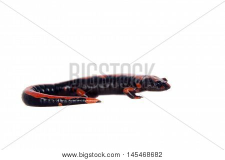 Lincolns Climbing Salamander, Bolitoglossa lincolni, isolated on white background