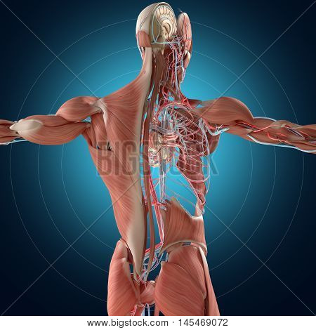Human anatomy dissected layers. 3D illustration. Muscular and vascular system, brain, back, torso