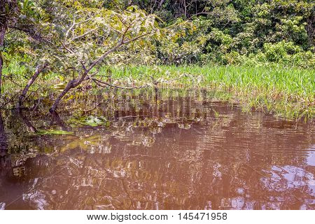 Water Trees In Flooded Amazonian Jungle Cuyabeno Wildlife Reserve South America