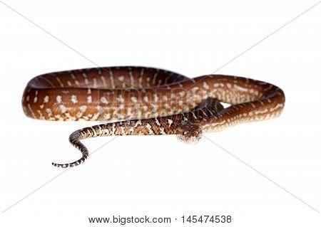 Centralian carpet python, morelia bredli, hypo isolated on white background