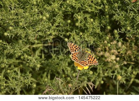The butterfly sits on a flower. The butterfly is the representative of fauna of Europe. The Latin name - Issoria lathonia. Beautiful insect