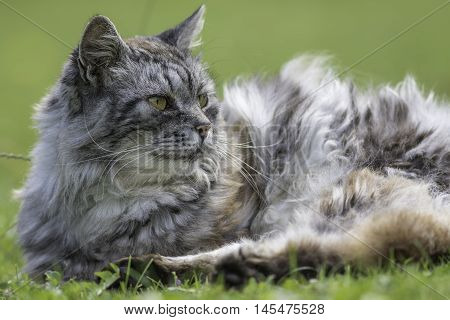 Long-haired semi-feral cat lays on the garden lawn.