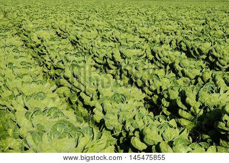 Large vegetable field with brussels sprouts in summer