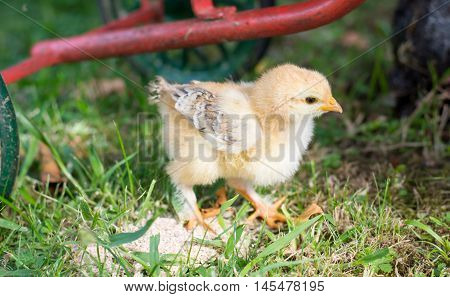 Baby chicken walking on grass in the backyard