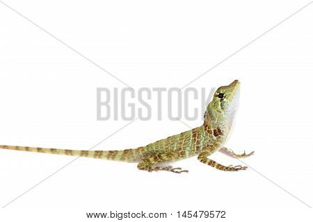 Dactyloa latifrons lizard isolated on white background