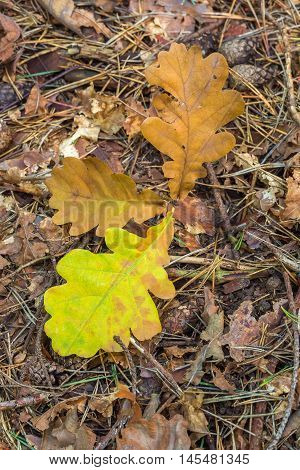 Three of fallen oak leaf on forest floor. Close-up.