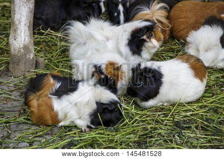 Guinea pigs in the Munich zoo (Tierpark Hellabrunn)