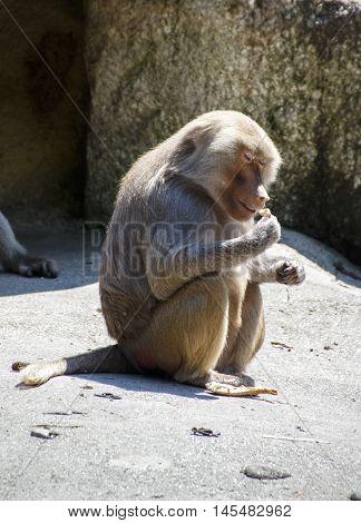 Hamadryas baboon in the Munich zoo (Tierpark Hellabrunn)