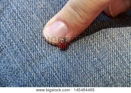 Ladybird beetle on a jeans with fingers