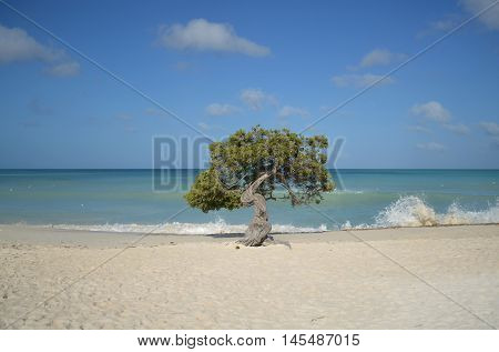 Divi divi tree on Eagle beach in Aruba with waves coming ashore.