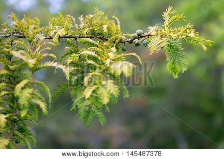 Gold rush tree (Metasequoia glyptostroboides) branch. Yellow leaves of endangered coniferous tree native to China aka the dawn redwood in the family Cupressaceae