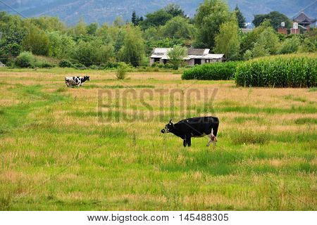 Cow In Organic Grass Filed