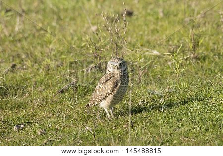 burrowing owl perched on the grass field
