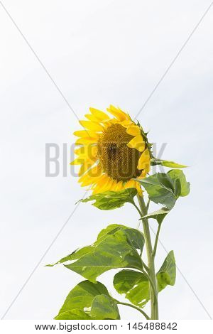 Vertical image of sunflower with copy space.