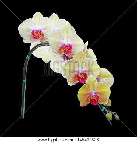 Yellow Orchid Flower isolated on black background