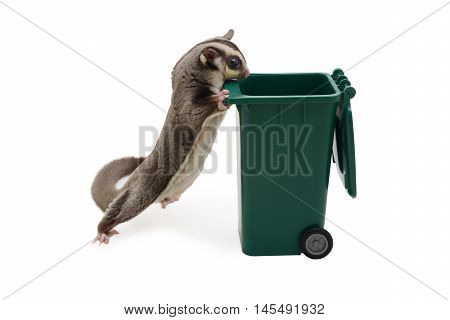Sugarglider standing and look in to green garbage bin on white background.