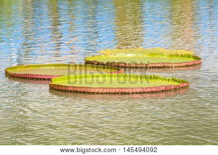 Victoria Waterlily Or Victoria Amazonica