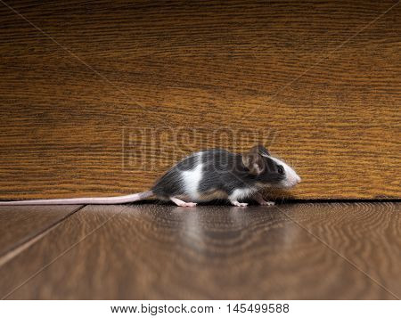 Gray-white furry mouse on the floor in the room. The long pink tail