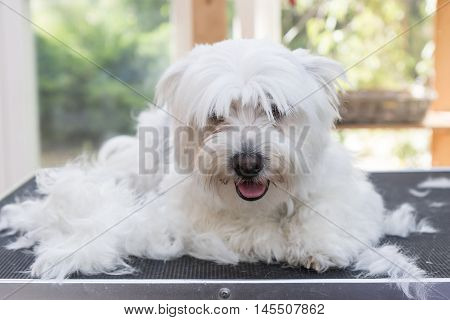 White Maltese dog is laying on the grooming table next to pile of hair and is looking at the camera.